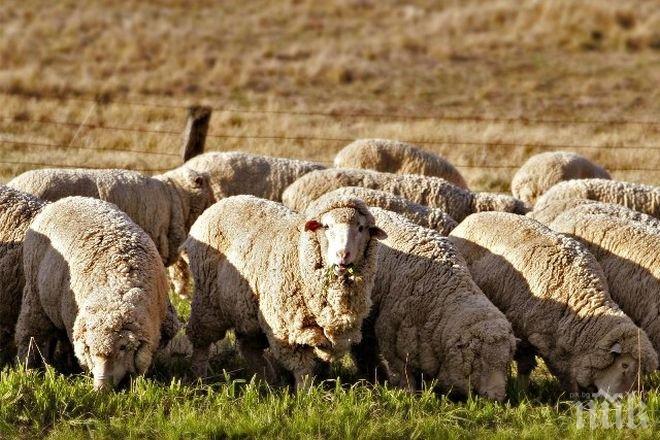 Без аналог! Събор на овцевъдите у нас показва редки породи животни