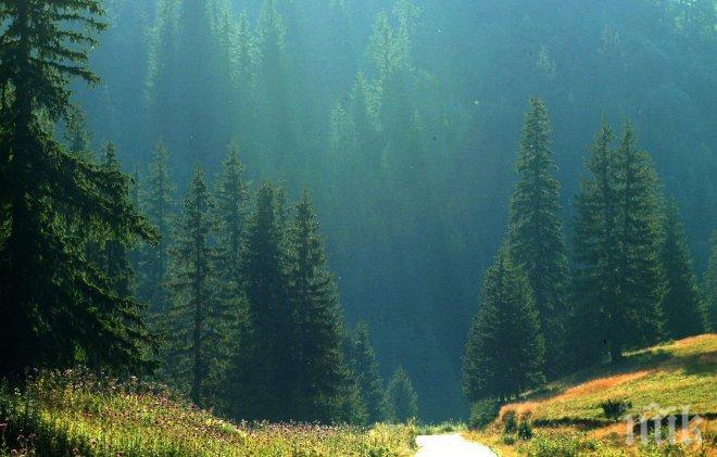 Появата на патогенни гъби по иглолистните гори е следствие на климатичните промени