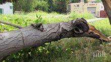 Ужасен инцидент! Дърво падна върху човек в Борисовата градина