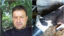 ИЗВЪНРЕДНО И САМО В ПИК! Мъките на фермера Атанас Стойков продължават! Вече тровят и добитъка му, не само го ръгат