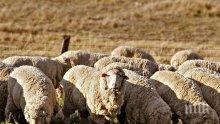 Млад шофьор уби 40 овце след зверски удар край Ракитово