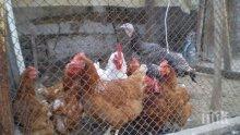Държавни хрантутници посягат на бабините кокошки