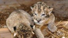 Спешно транспортираха в столична клиника новородени лъвчета от разградския зоопарк