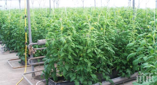 Рекорд! Разкриха близо тон зелена маса и 12 кг сухи съцветия от марихуана в крумовградско село