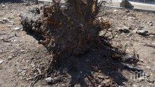 Откриха гърне с имане в корените на джанка
