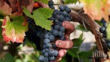 Бой за гроздето! Винарни наддават за хубавата реколта