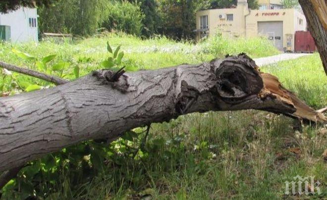 ШОК! Дърво се стовари пред млада жена в Пловдив! По чудо не я премаза
