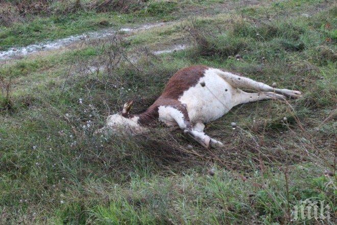 Ваксинират срещу антракс на всички овце, говеда и коне в Североизточна България