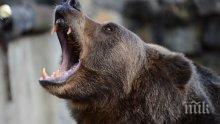 Избягала от зоопарк мечка уби един и рани тежко  друг човек край Воронеж