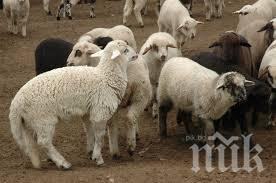 Изнасяме 3000 овце в Турция до края на годината