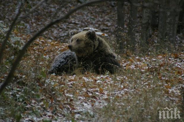 НЯМА МИЛОСТ! Ловци в Русия гръмнаха мечка, убила мъж