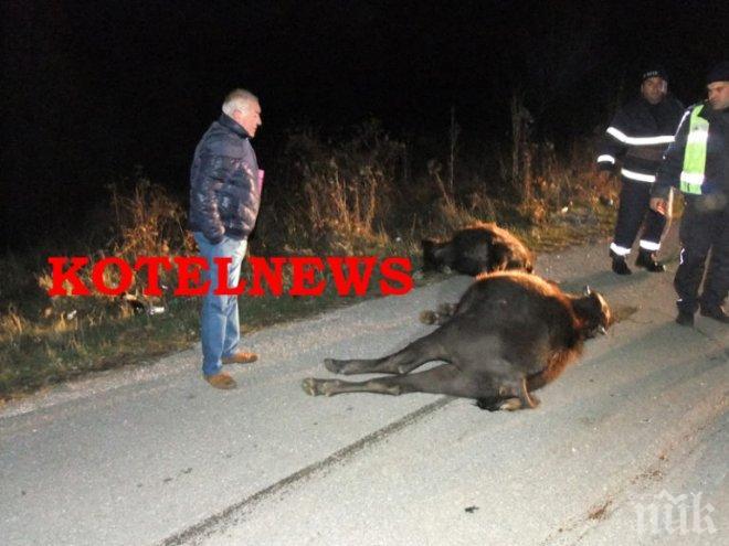 КЪРВАВО МЕЛЕ! Бус направи биволи на кайма край Котел (СНИМКИ 18+)