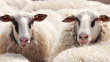 Меле с 400 овце блокира пътя Русе-Разград