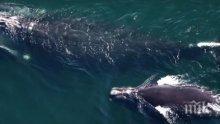 Природен катаклизъм! Изчезва бискайският кит (ВИДЕО)