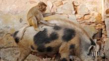 Добри приятели! Маймуна, яхнала свиня се превърна в хит в социалните мрежи