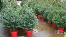 Столична община призова софиянци да засадят живите елхи от Коледа в междублоковите пространства