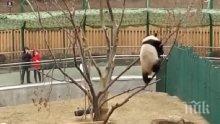 УНИКАЛНО ВИДЕО! Пандата Пупу показа завидни умения в гимнастиката
