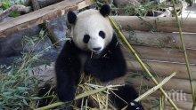 Защо пандата Мън Мън ходи назад! Ето отговора на въпроса, който измъчваше целия свят (ВИДЕО)
