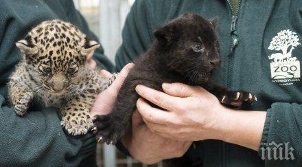 Атракция! В унгарски зоопарк показаха едномесечни ягуарчета близнаци (СНИМКИ)