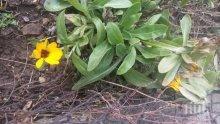 В разгара на зимата, цъфнаха цветя в Смолян