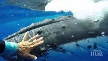 Неочакван закрилник! Кит спаси жена от тигрова акула (ВИДЕО)