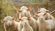 КУРИОЗ! Стадо овце заплашва американска военна база в Румъния