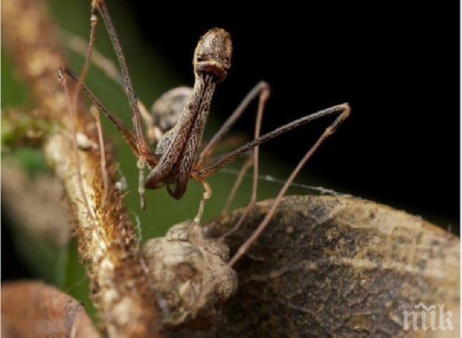Находка! Учените откриха 18 нови вида пеликанови паяци