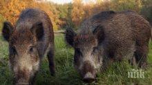 КАЛПАВ МЕРНИК! Ловец гръмна 3 прасета, взел ги за глигани