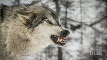 Озверели от глад и студ вълци и лисици нападнаха села в Пиринско
