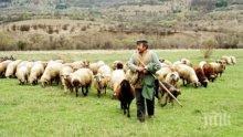 ШАШ! Внасяме овчари от чужбина