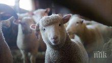 И ТОВА ДОЖИВЯХМЕ! Създадоха хибрид между човек и овца