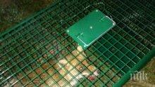 Хванаха в капан лисица край Пловдив! Измъчват я и се канят да я одерат (СНИМКИ)