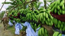 ЗНАЕТЕ ЛИ, ЧЕ! Бананите не растат по дърветата, храсти са