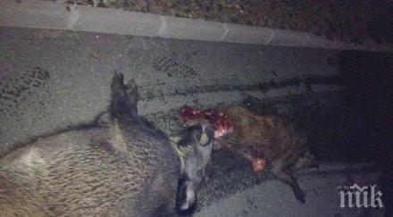 касапница внимание шофьори автомобил помля десетина диви прасета тракия