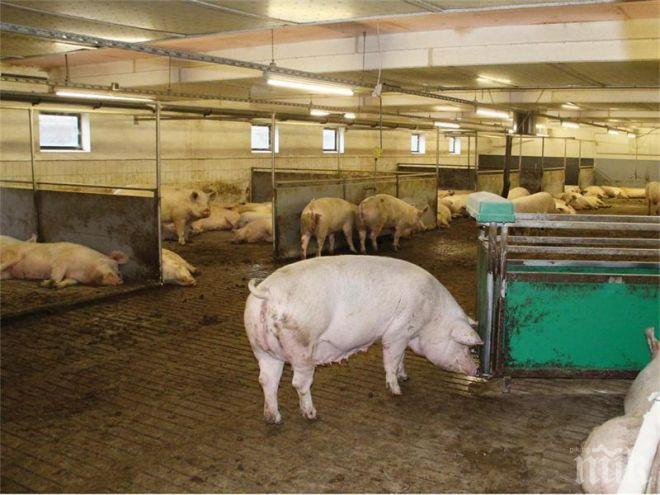 Правителството дава 30 млн. лева за прасета