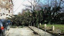 ВНИМАНИЕ! Ураганният вятър събори дърво в столичен парк (СНИМКИ/ОБНОВЕНА)