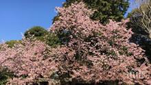 ПЪРВА ПРОЛЕТ! Цъфнаха японските вишни