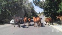 Стадо коне прегазиха ауди край Пловдив