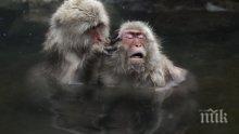 Маймуните луди по спа процедурите