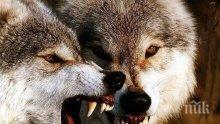 КУРИОЗ! Отраснал сред вълци мъж иска да се върне в глутницата