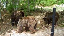 Танцуващите мечки в Белица осиротяха: Приспаха мечока Гошо