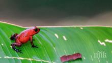 Във Финландия заделят над 400 000 евро за изучаване на канибализма при южноамериканските жаби