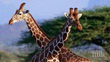 Жираф уби известен режисьор по време на снимки
