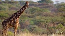 ПЕТНИСТ РЕЦИДИВИСТ! Жирафът Джералд, който уби известен режисьор, нападна и студентка