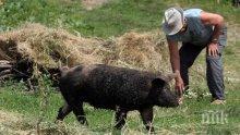 България се отърва от класическата чума по свинете