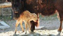Рядко бяло бизонче се роди в зоопарка в Белград