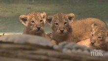 Тотален хит! Показаха за първи път лъвчета тризнаци в зоопарка във Франкфурт