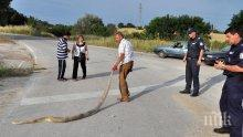 ШОК КРАЙ ХАСКОВО! 3-метров питон изпълзя на международен път Е-80, прегазиха го