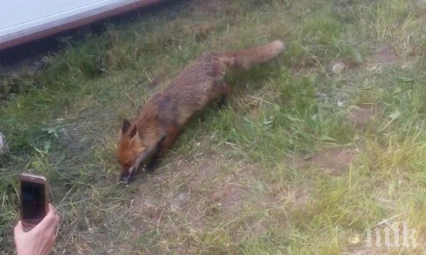 Лисица шества из Пампорово: Позира, похапва и бяга!