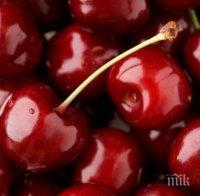 Пада изкупната цена на черешите в Кюстендилско
